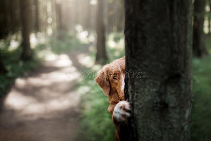 Poursuivez le chien d'arrêt de tintement de canard de Nova Scotia se cachant derrière un arbre photographie stock