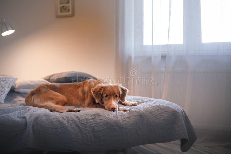 Poursuivez le chien d'arrêt de tintement de canard de Nova Scotia se trouvant sur le lit photos stock