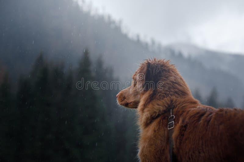 Poursuivez le chien d'arrêt de tintement de canard de Nova Scotia sous la pluie image libre de droits