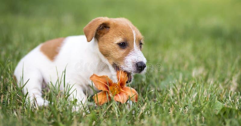 Poursuivez le chiot heureux d'animal familier mâchant une fleur - idée de bannière de Web photographie stock