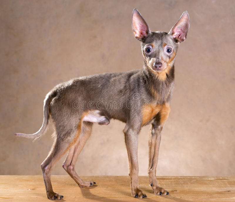 Jouet Terrier russe images stock