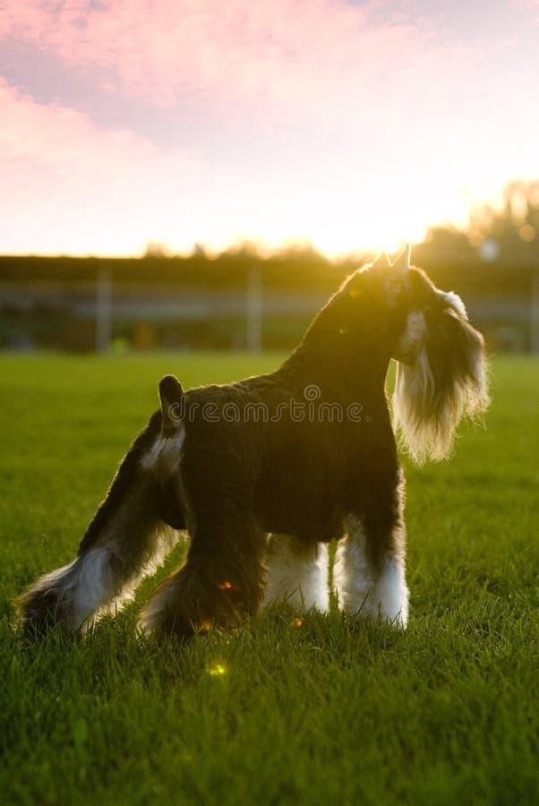 Poursuivez le mini coucher du soleil de Schnauzer d'animal familier photographie stock