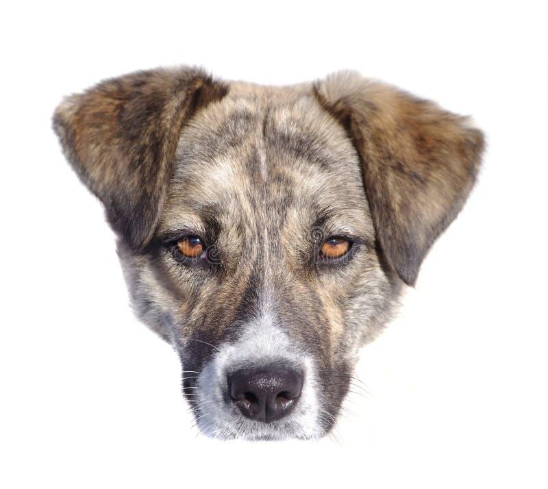 Visage de chien d'isolement images stock