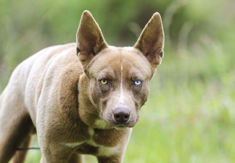 Poursuivez le regard fixe, chien enroué de mélange de chien de pharaon avec un oeil bleu photos stock