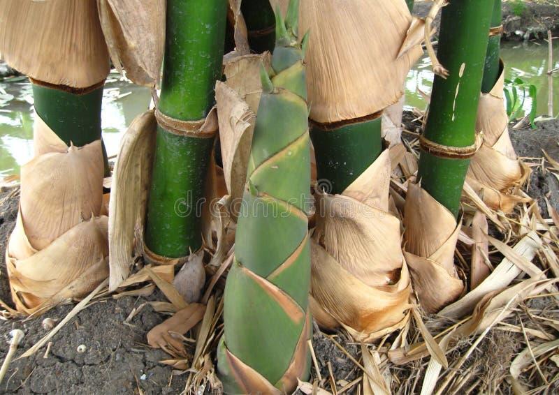 Pousse de bambou image stock