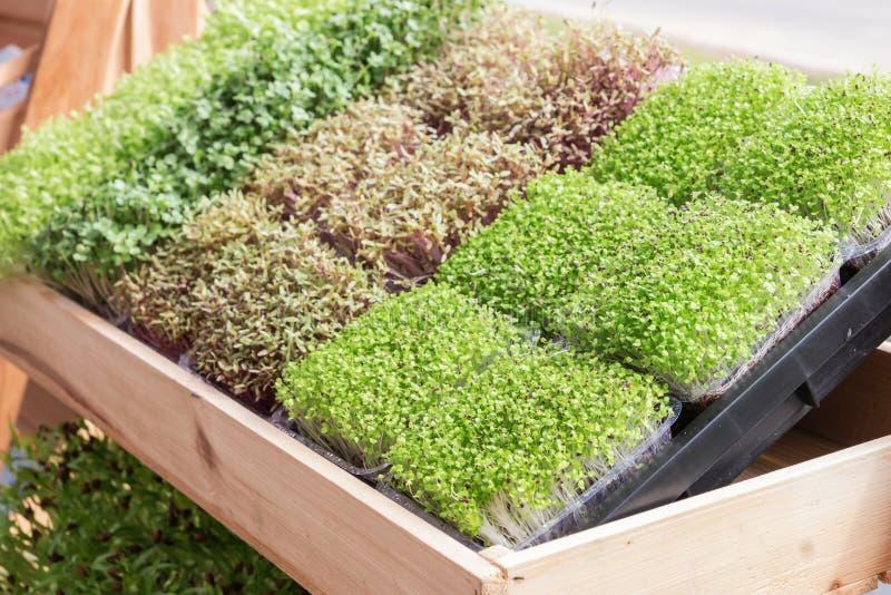 Pousse de jeune plante ou de tournesol dans le plateau de pépinière photographie stock