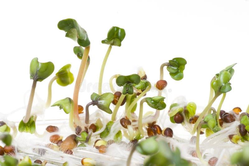 pousse de radis image stock image du normal seedling. Black Bedroom Furniture Sets. Home Design Ideas