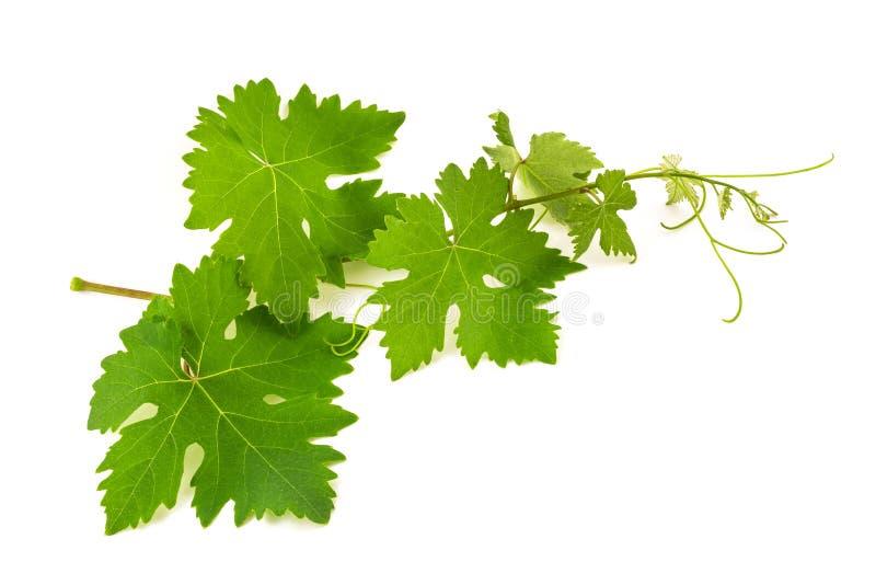 Pousse de vigne photos stock