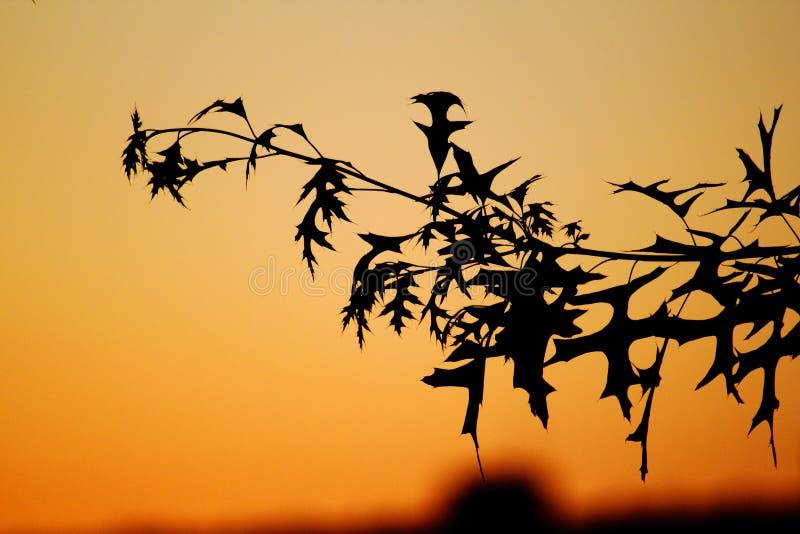 Pousse des feuilles le coucher du soleil image stock