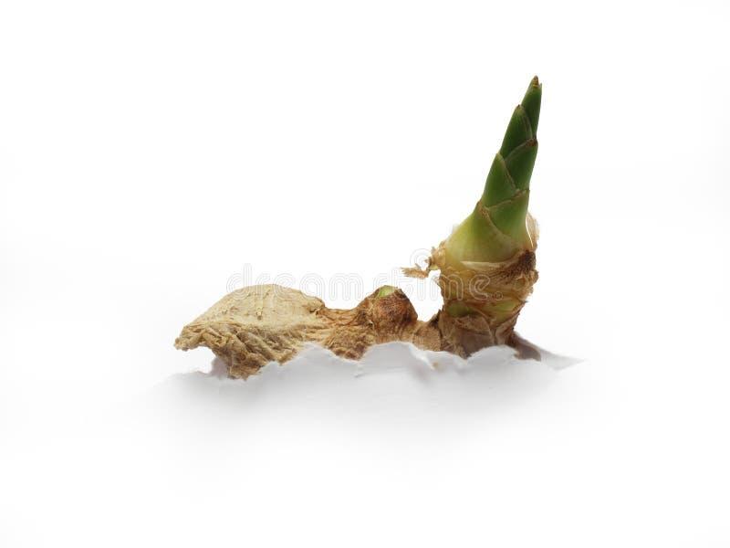 Pousse fraîche de gingembre (accroissement de papier) photographie stock libre de droits