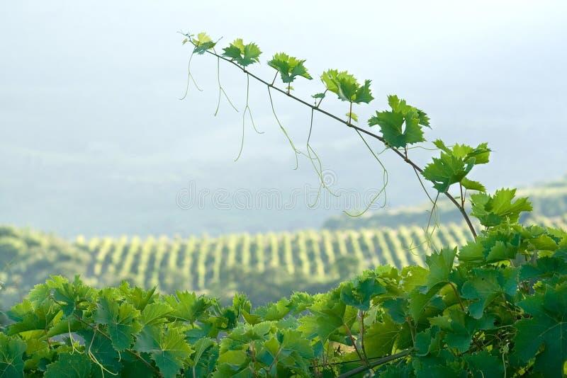Pousse fraîche de vigne image stock
