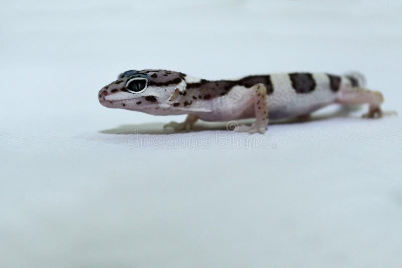 Pousse haute ?troite de gecko de l?opard image libre de droits