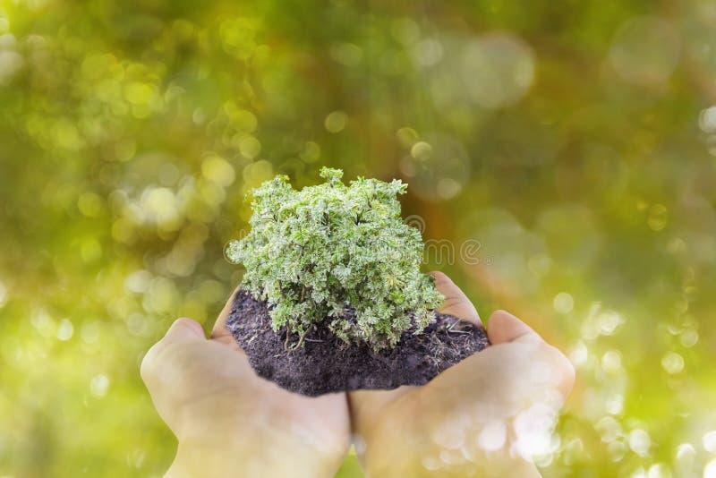 Pousse ou petite plante en main avec le backgr de bokeh d'arbre de vert de bokeh photo libre de droits