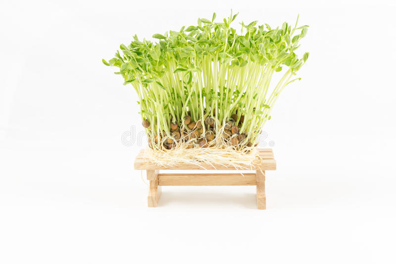Pousse verte de nature s'élevant de la graine sur en bois photo libre de droits