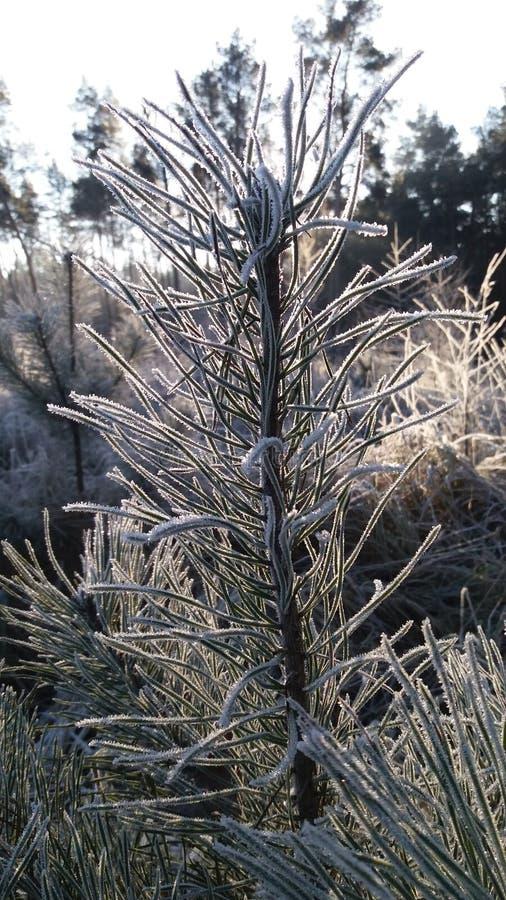 Pousses congelées de pin photos stock