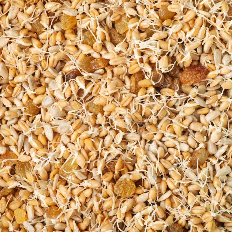 Pousses de blé, raisins secs et graines de tournesol mélangés photo stock