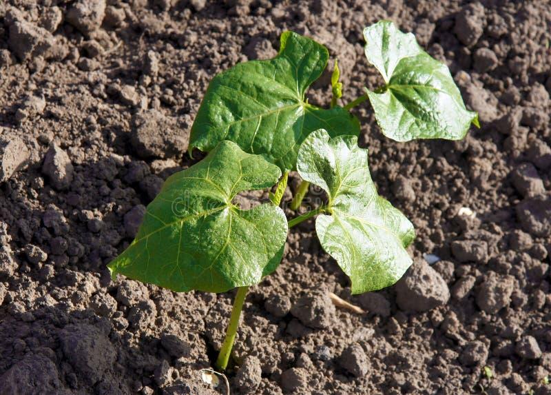 Pousses de coureur Bean Plant photographie stock libre de droits