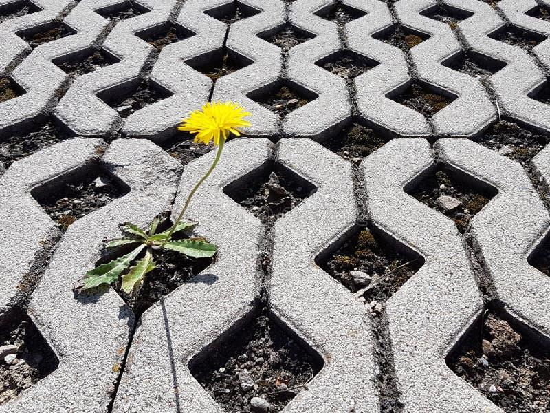 Pousses de floraison jaunes d'une fleur de pissenlit entre les dalles en béton treillagées pendant la journée La vie conquiert la photographie stock