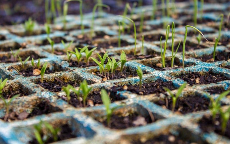 Pousses de persil et de poireau sur le semis photographie stock libre de droits