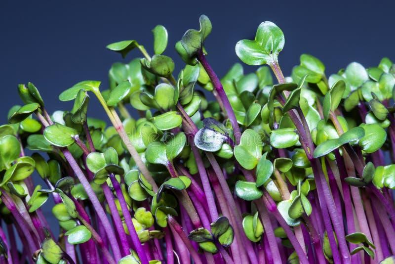 pousses de radis photo stock image du nourriture violet. Black Bedroom Furniture Sets. Home Design Ideas