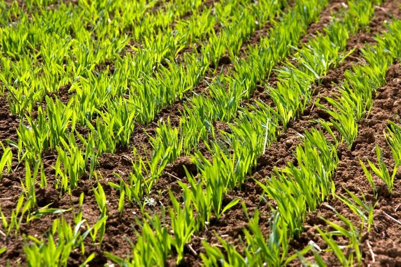 Pousses vertes de blé d'hiver image libre de droits