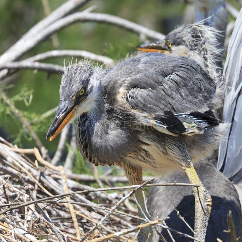 Poussin de héron dans le nid image stock