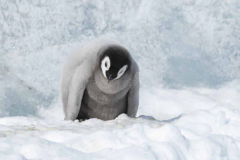 Poussin de pingouin d'empereur sur la glace images libres de droits