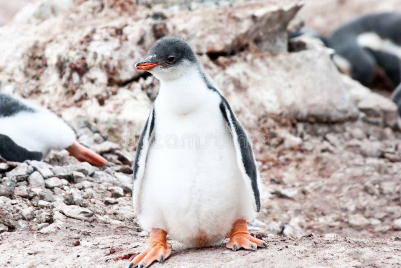 Poussin de pingouin de Gentoo avec de grands pieds photos stock