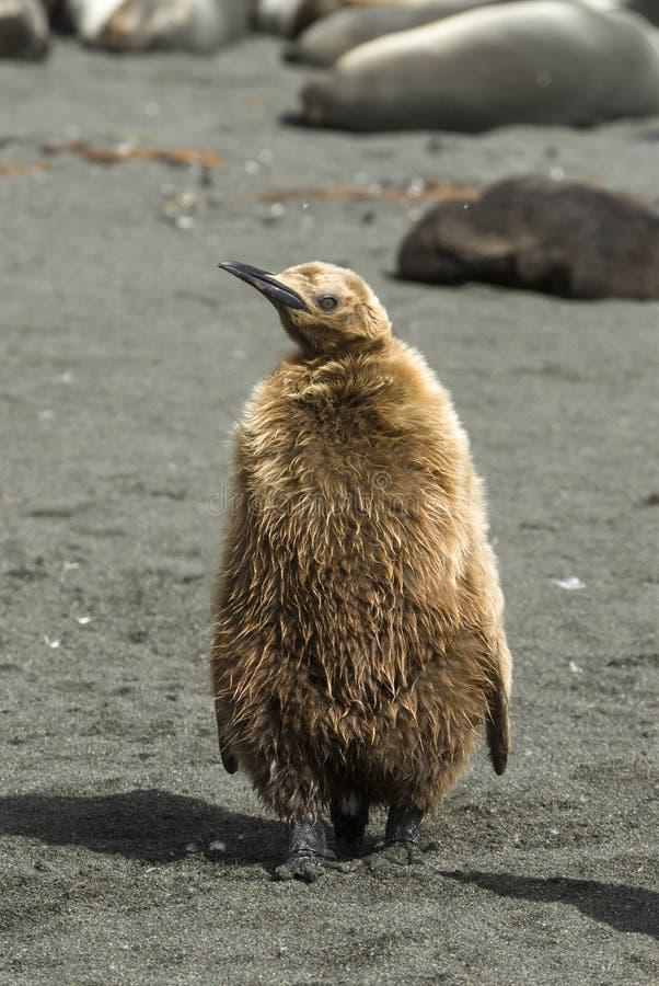Poussin pelucheux de pingouin de roi photographie stock libre de droits