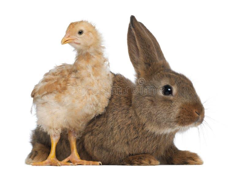 Poussin se tenant à côté du lapin images libres de droits