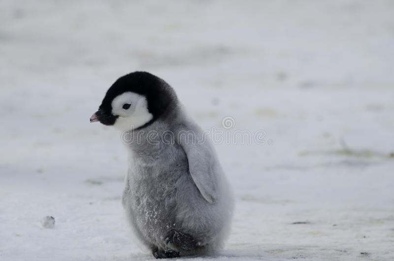 Poussin seul de pingouin d'empereur photographie stock