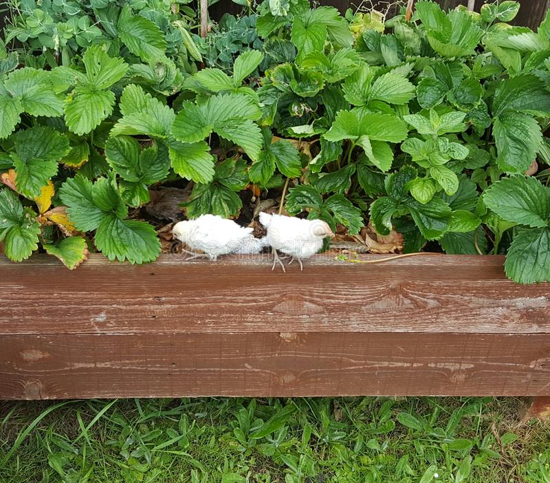 Poussins dans le buisson de fraise photos stock