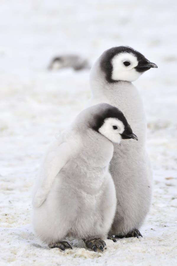Poussins de pingouin d'empereur en Antarctique photos libres de droits