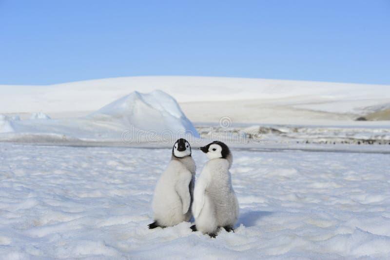 Poussins de pingouin d'empereur en Antarctique photo libre de droits