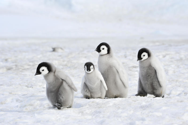 Poussins de pingouin d'empereur en Antarctique image libre de droits