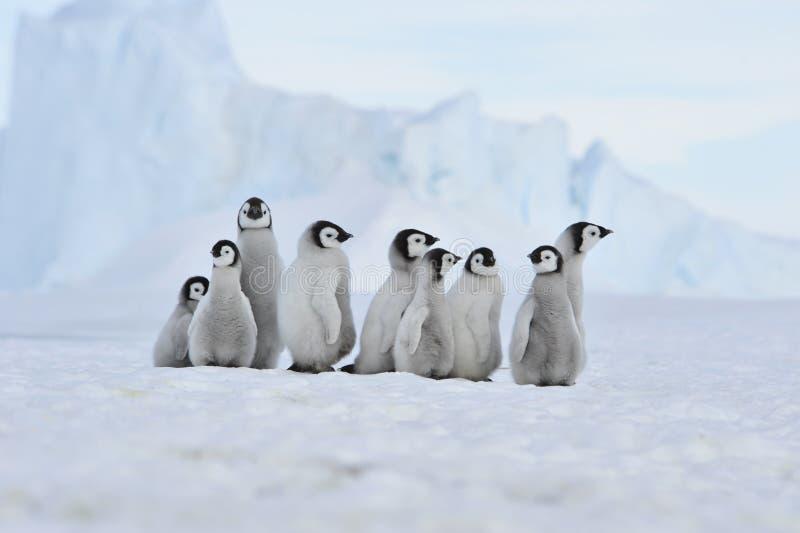 Poussins de pingouin d'empereur en Antarctique photographie stock