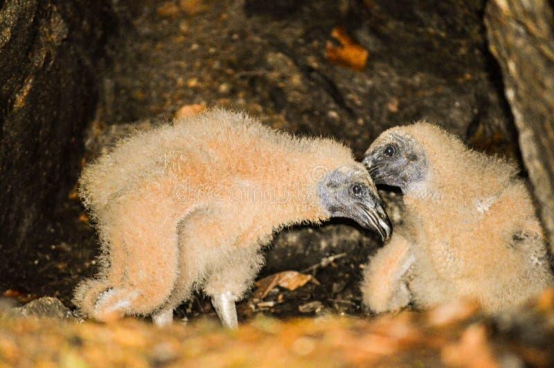 Poussins de vautour de Turquie images libres de droits