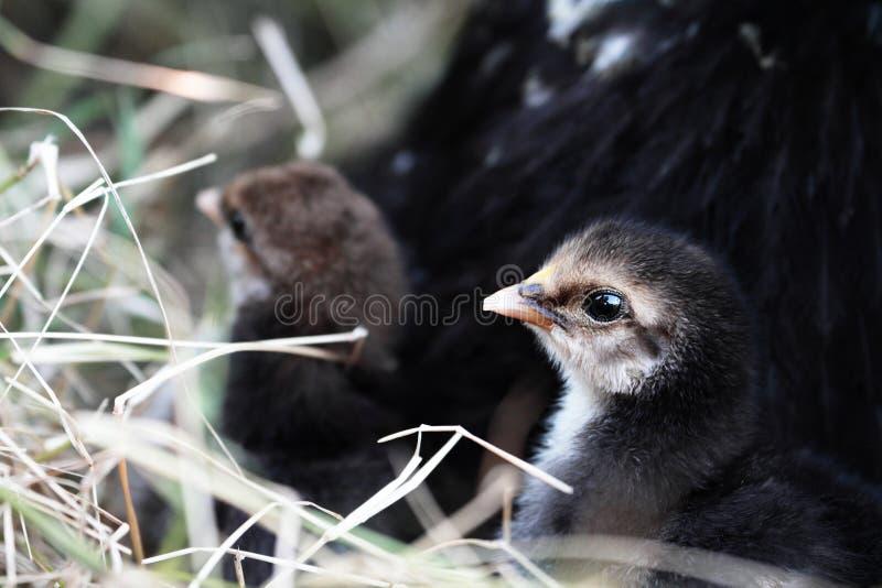 Poussins et poule de mère photos libres de droits