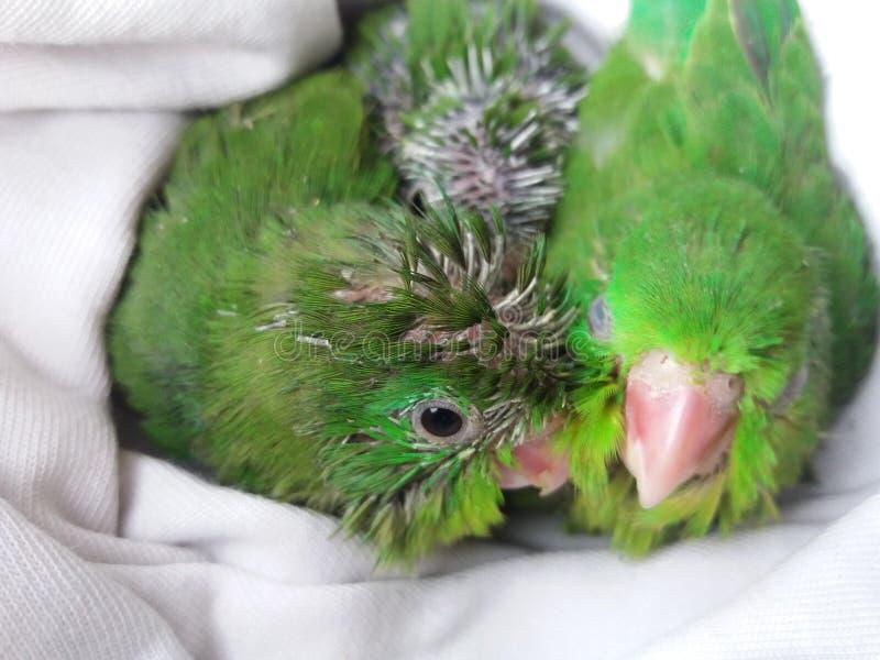 Poussins verts de perroquet images libres de droits