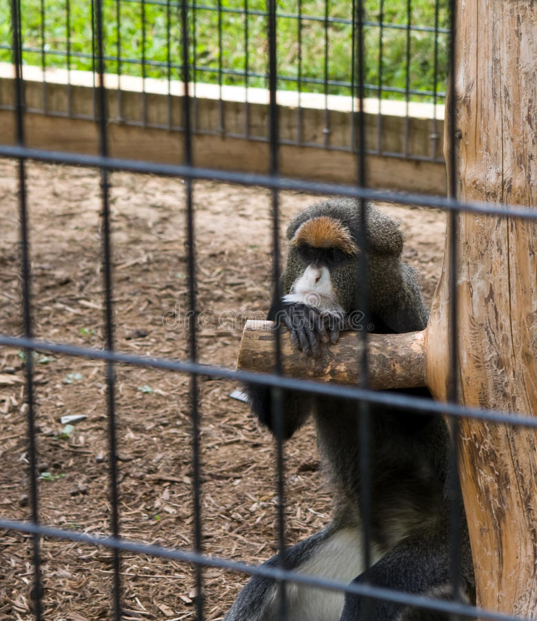 Pouting Primate. A primate leans on a wooden piece of furniture in its enclosure. Pictured primate is the De Brazza's monkey and is a native from Central Africa stock photo