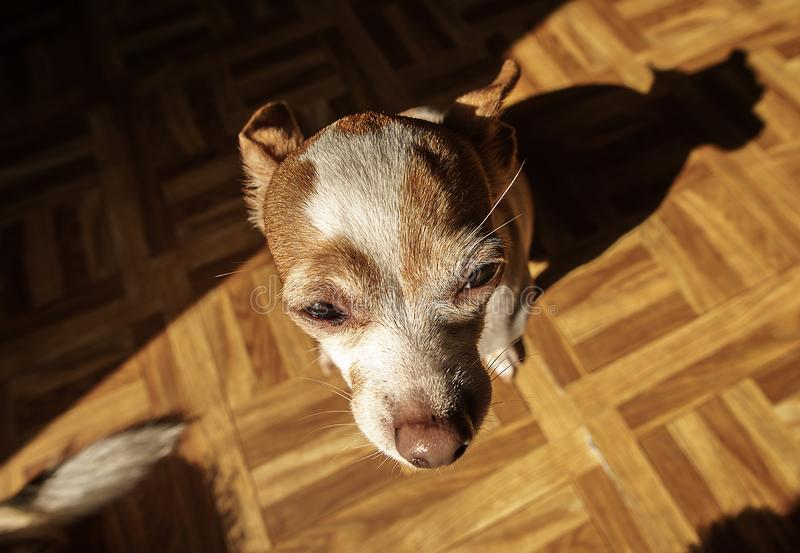 Pouty chihuahua zdjęcie royalty free