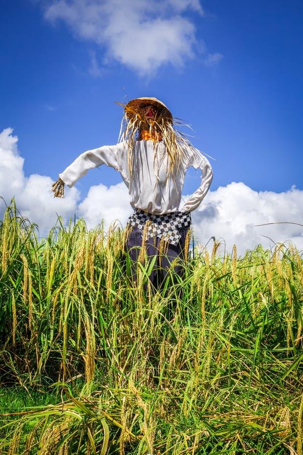?pouvantail dans des terrasses de riz de rizi?re de Jatiluwih, Bali, Indon?sie images libres de droits