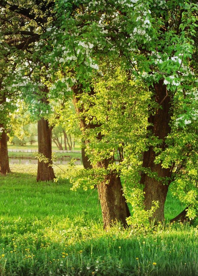 pouvez Les poires fleurissent en parc image libre de droits