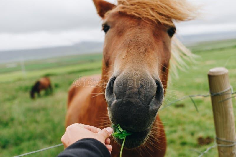 POV del cavallo rosso selvaggio dell'alimentazione di mano fotografia stock