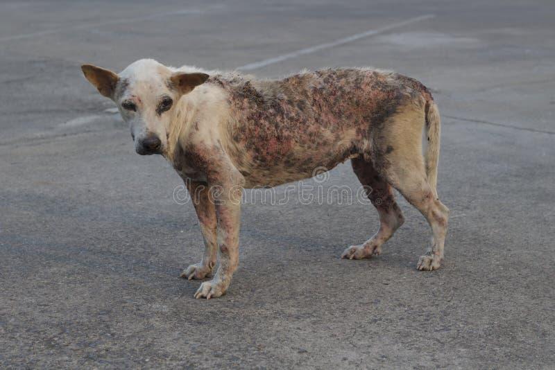 Povero cane rognoso fotografia stock libera da diritti
