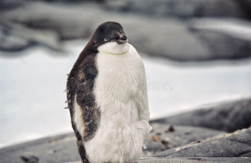 povero pinguino immagini stock libere da diritti