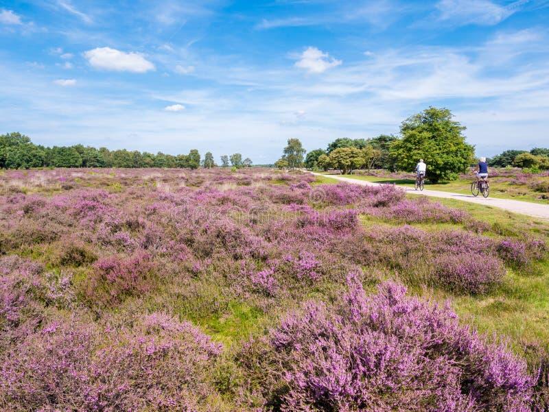 Povos que bicycling através da charneca roxa, Hilversum, Netherland imagens de stock