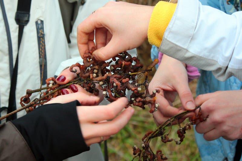 Povos que provam os frutos comestíveis doces de dulcis orientais japoneses de Hovenia da árvore da passa foto de stock royalty free