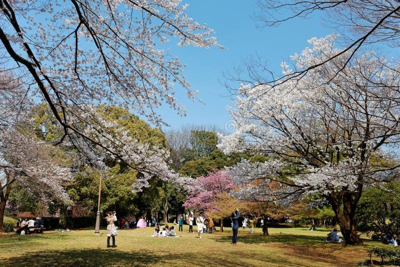 Povos que têm um piquenique & que admiram as flores de cerejeira bonitas sob árvores enormes de Sakura no parque de Omiya, Saitam foto de stock