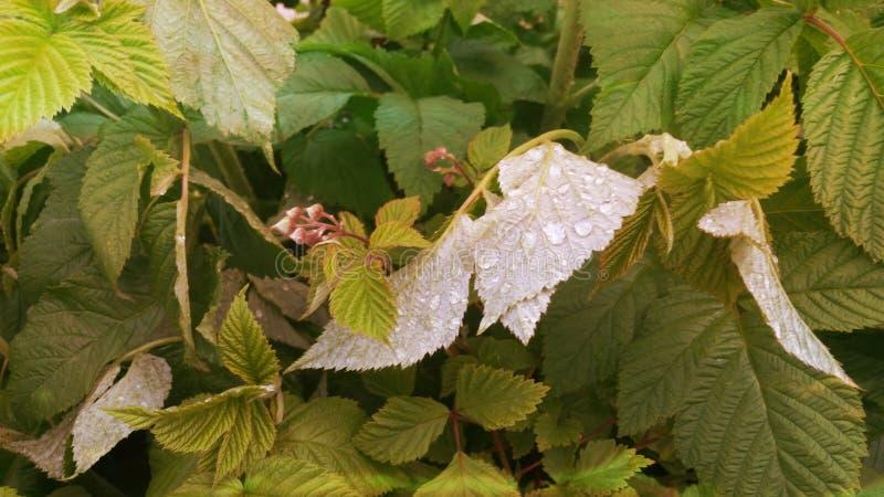 Powód na malinowych liściach obrazy stock